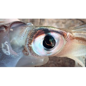 http://www.exotic-anglers.fr/3290-10597-thickbox/savage-gear-sg-3d-tpe-swim-squid-.jpg